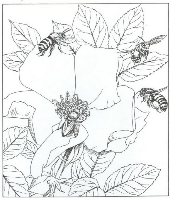 Malvorlagen Biene