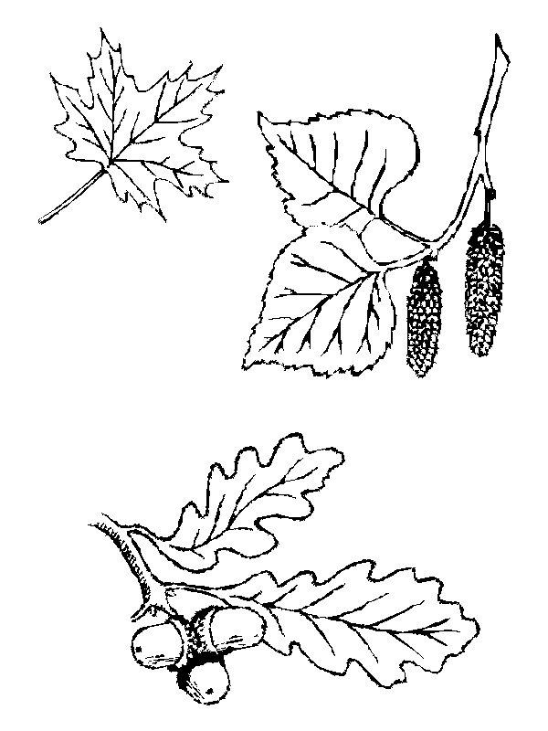 Раскраска Листья (32)
