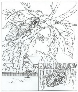 coloring page cicada type cricket
