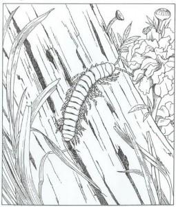målarbok centipede