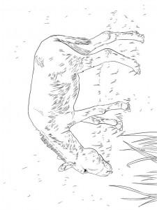 раскраска Ослы (5)