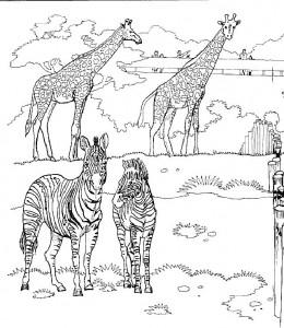 kleurplaat Giraffen in de dierentuin