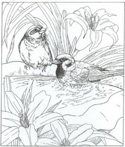 house sparrow coloring page