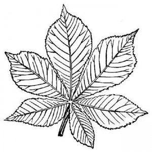 coloring page Chestnut leaf