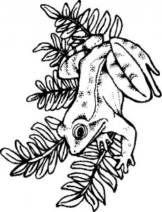 coloring page Frogs (13)