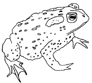 coloring page Frogs (14)