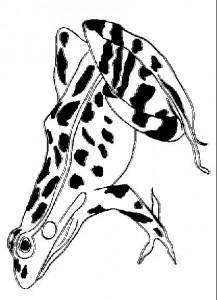 Dibujo para colorear Ranas (9)