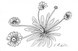 coloring page Daisies