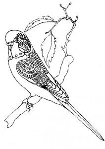 färg Parakeet