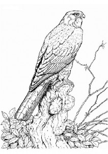 målarbok Rovfågel