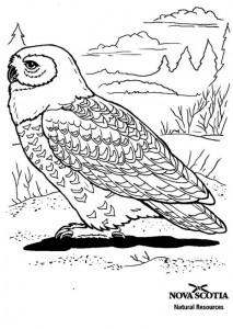 раскраска Снежная сова