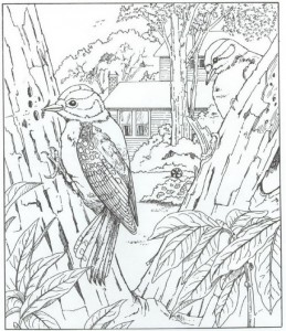 coloring page woodpecker